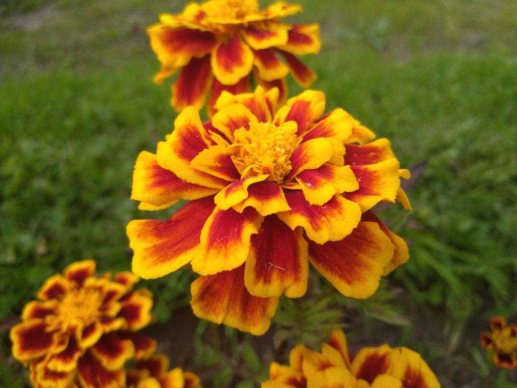 Снимок на камеру смартфона Hisense Rock 5. Цветы